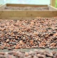 Chocolate-Plantation-Drying-Cacao-Beans-Feature-Photo